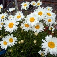 любимые цветы :: Наталья Зимирева