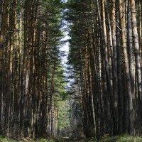 Прекрасный сосновый лес :: Юлия Сергеева
