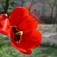 Тюльпан на віконечку, радіє ранковому сонечку. :: Степан Карачко
