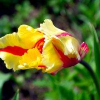 Бывают и такие тюльпаны... :: Nina Streapan