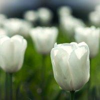 Тюльпаны :: Сергей Форос