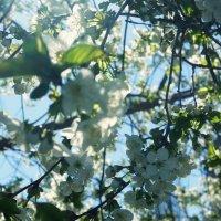 Вишня в цвету :: Екатерина zZz