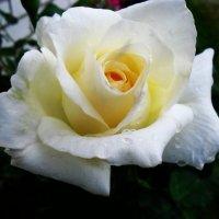 Роза :: Анастасия Tрушко