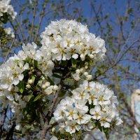 Яблоня цветёт :: Анатолий Чикчирный