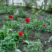 Пришла пора цветения тюльпанов :: Нина Корешкова