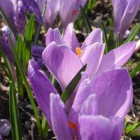 Весенние цветы :: Анатолий