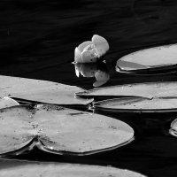 Там  лилии растут..... :: Валерия  Полещикова