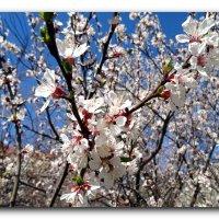 Весны цветенье. :: Чария Зоя