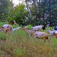 Пастух выгнал своих коз на пастбище. :: Валентина ツ ღ✿ღ