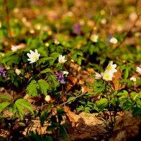 первые цветы :: ирэн