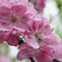 Розовые цветы яблони :: Balakhnina Irina