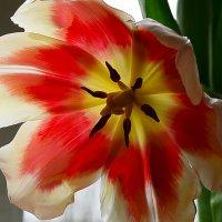 Тюльпаны :: Татьяна Кретова