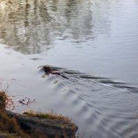 уплывая от назойливого фотографа... :: Алексей Белик