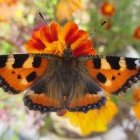 Красавица - бабочка :: Valentina