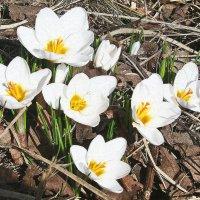 Белые крокусы. :: Мила Бовкун