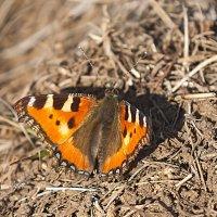 Первые бабочки 2016 года :: Анатолий Иргл