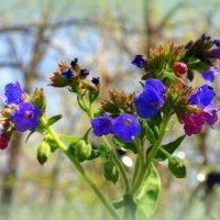Яркие цветочки медуницы :: Андрей Заломленков