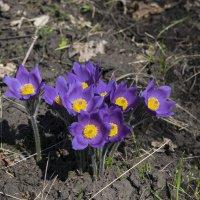 Первые весенние цветы :: Денис Гладких