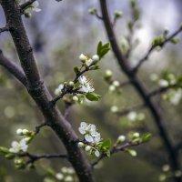 Весна цветёт, весне дорогу. :: Юрий Клишин