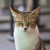 Тайская кошка :: Ирина Бруй