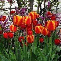 Киевские тюльпаны Фото №1 :: Владимир Бровко
