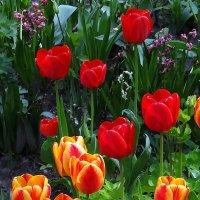 Киевские тюльпаны Фото №5 :: Владимир Бровко