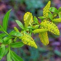 Первые листья и первое цветение.. :: Юрий Стародубцев