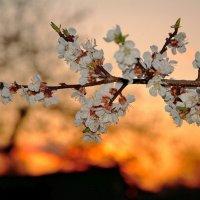 Цветение на фоне заката... :: Юрий Анипов