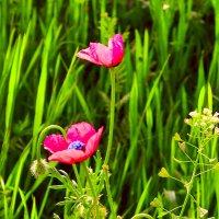 Полевые цветы :: Виктор Шандыбин