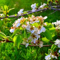 Груша цветёт :: Виктор Шандыбин