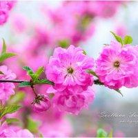 Каждую весну восхитительная сакура расцветает снова, принося радость и надежду обновления. :: SVETLANA FABRICHNAYA