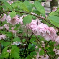 Розовый апрель :: Нина Корешкова