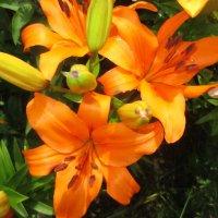 Оранжевое  чудо. :: Valentina