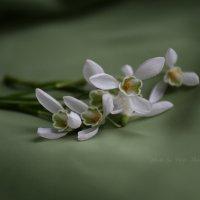 Первоцветы :: Вера Шамраева