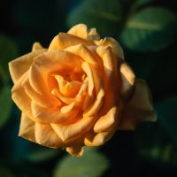 Цветущая роза :: Михаил Вандич
