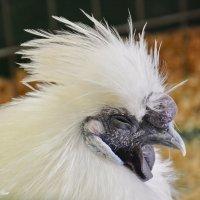 Портрет китайской шёлковой курицы :: Paparazzi