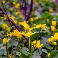 Желтые весенние цветы :: Юрий Стародубцев