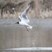 Озёрная чайка на пруду качает раннюю звезду :: Елена Швыдун