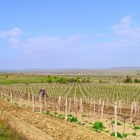 Обработка виноградников :: Виктор Шандыбин
