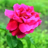 Что шепчут розы по утру, проснувшись утренней порою? :: Валентина ツ ღ✿ღ