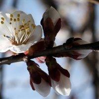 А у нас во дворе абрикосы цветут ! :: Валентина ツ ღ✿ღ
