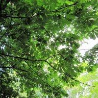 Небо в каштановых листьях :: Ольга Алеева