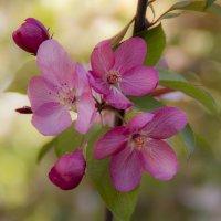 Яблонька цветет :: Ирина Рассветная