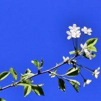 Достойный символ у любви: прекрасный вишни белый цвет. :: Валентина ツ ღ✿ღ