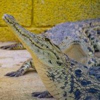 крокодил красивый :: Александр Деревяшкин