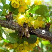 Пока цветёт барбарис... :: Андрей Солан
