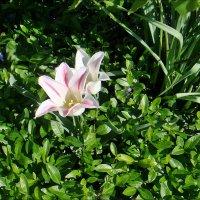 Светлы, как сама весна! :: Нина Корешкова