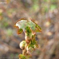Капля воды на неразвернувшемся листе смородины :: Тамара Буйлова