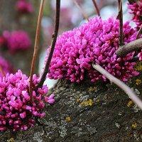 Цветет иудово дерево :: Alexander Varykhanov