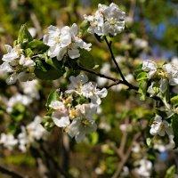 Яблони в цвету.... :: владимир